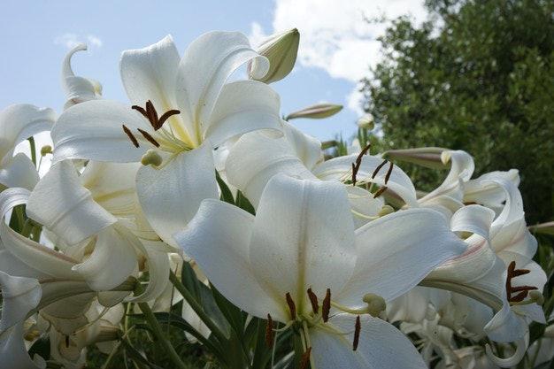 Hoa huệ trắng